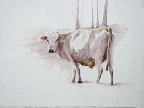 study-cow-ambrose-500